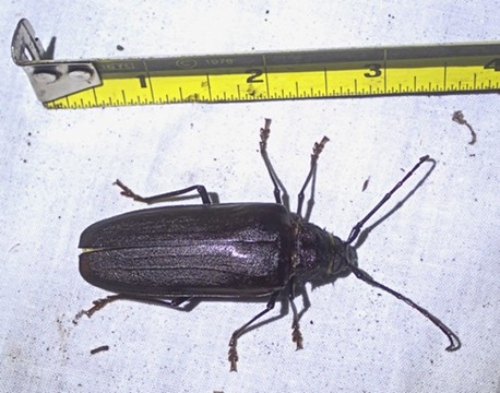 A California Priornus Beetle, one of the largest beetles in our area. - ANTHONY WESTKAMPER