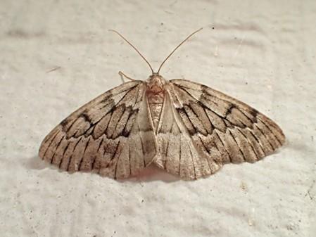 The dramatically named phantom hemlock looper moth (Nepytia phantasmaria) or a close relative. - ANTHONY WESTKAMPER