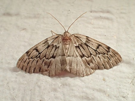 The dramatically named phantom hemlock looper moth (Nepytia phantasmaria) or a close relative. - ANTHONY WESTKAMPER