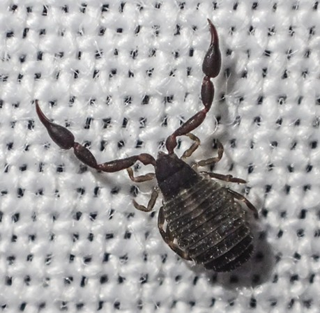 Pseudoscorpion on the white sheet of my light trap.  The weave should give you an idea how small they are. - ANTHONY WESTKAMPER