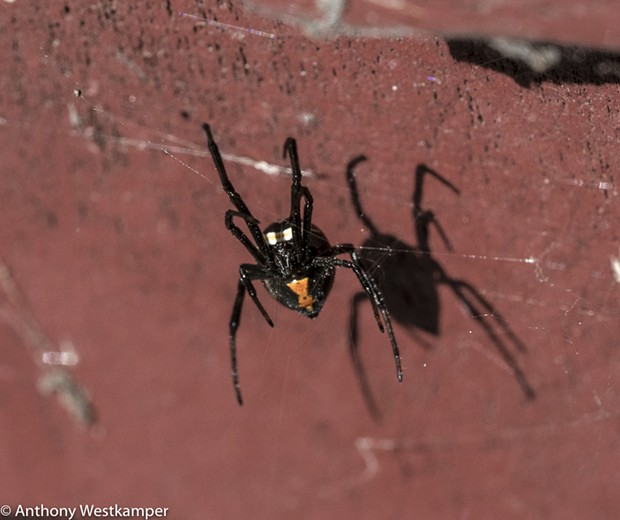 A black widow found in front of the Carlotta Post Office. - ANTHONY WESTKAMPER
