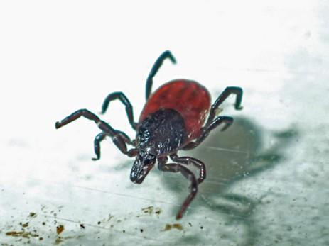 Tick found on my leg. - ANTHONY WESTKAMPER
