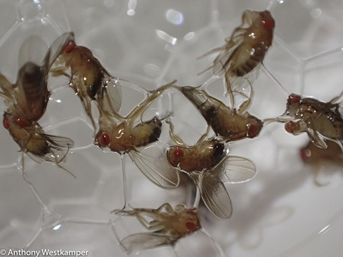 Close up of fruit flies mired in suds. - ANTHONY WESTKAMPER