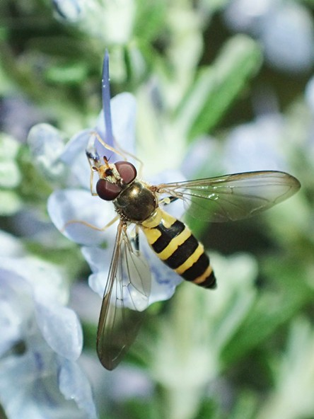 A flower fly on rosemary. - ANTHONY WESTKAMPER