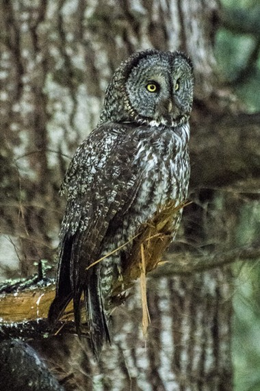 The great gray owl is the longest owl in the world. - MARK LARSON