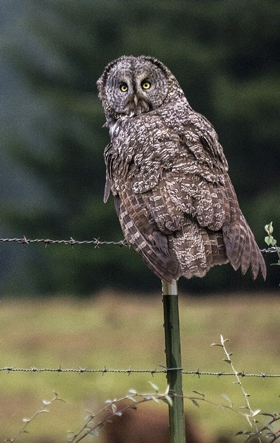The rare great gray owl returns for the second year in a row. - MARK LARSON