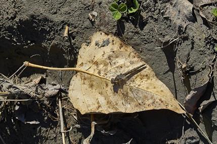Variegated Meadowhawk on alder leaf. - ANTHONY WESTKAMPER