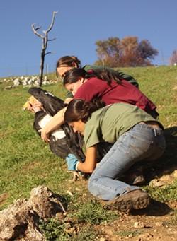 Yurok Wildlife Program biologist Tiana Williams releases a condor in Big Sur. - COURTESY OF THE YUROK TRIBE