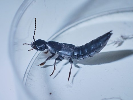 Almost certain this is the Devil's coach horse beetle. - ANTHONY WESTKAMPER