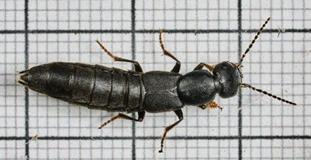 The devil's coach horse is nearly an inch long (bold lines are 10 millimeters apart. - ANTHONY WESTKAMPER
