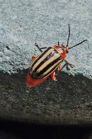 Striped willow beetle, about 1/4 inch long. - ANTHONY WESTKAMPER