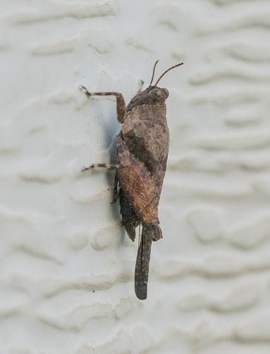 A 1/2-inch grouse locust on my garage door. - ANTHONY WESTKAMPER