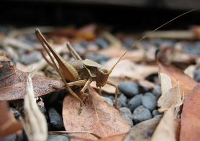 A 1-inch shield backed katydid. - ANTHONY WESTKAMPER