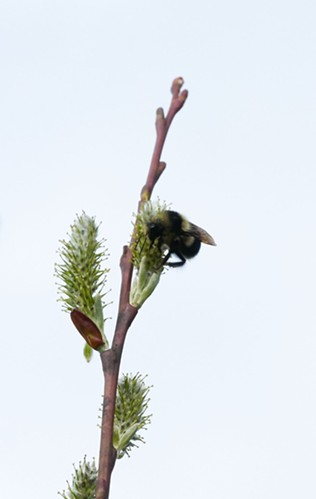 A bumblebee on a pussy willow branch. - ANTHONY WESTKAMPER