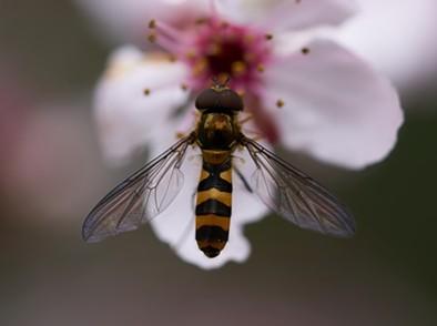 A flower fly on an ornamental plum blossom.