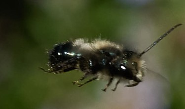 Osmia or mason bees, another species which is native but also raised commercially to pollinate crops. - ANTHONY WESTKAMPER
