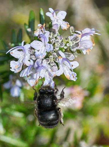 A giant carpenter bee (genus Xylocopa). Although common, this is the first time I've noted them in my yard. - ANTHONY WESTKAMPER