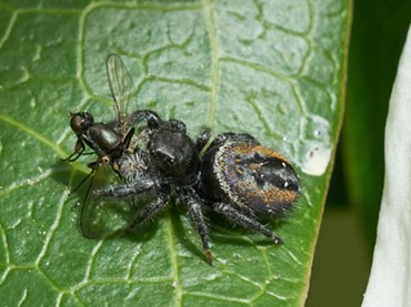 A jumping spider preying on a fly. - ANTHONY WESTKAMPER