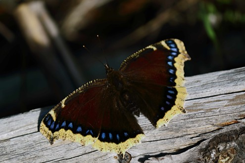 Mourning cloak (Nymphalis antiopal), named for its somber colors, is also found in Europe. This species can overwinter and comes out to fly on sunny winter days. - ANTHONY WESTKAMPER
