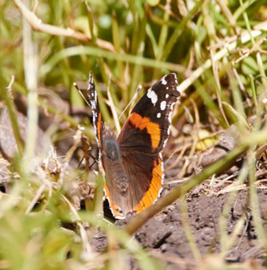 Red admiral (Vanessa atalanta) is always tricky to get close to. - ANTHONY WESTKAMPER