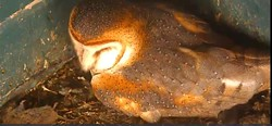"""Mother owl """"Truman""""  sits on the nest. - SCREEN SHOT"""