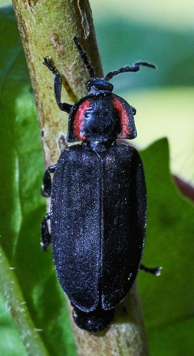Non-glowing California firefly, Ellychnia californica. - ANTHONY WESTKAMPER