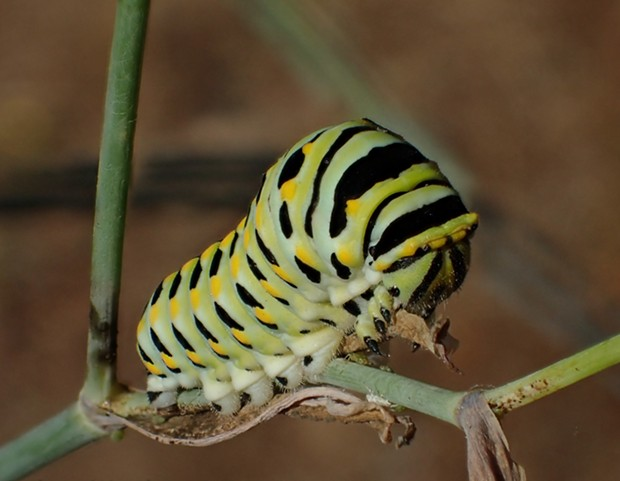 A fully grown anise swallowtail caterpillar almost as big as my little finger. - ANTHONY WESTKAMPER