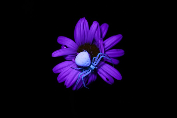 A camouflaged female crab spiders stands out at night under black light. - ANTHONY WESTKAMPER