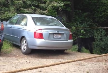 The bear can be seen just to the right of the car. To watch the video, scroll down. - HUMBOLDT COUNTY SHERIFF'S OFFICE FACEBOOK PAGE