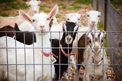 Goat at the farm - AMY KUMLER