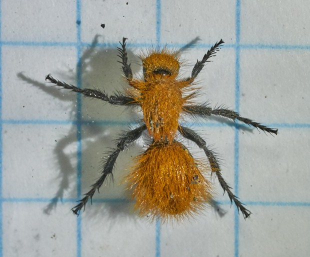 Velvet ant on 1/4-inch graph paper shows this one is 1/2 inch long. - ANTHONY WESTKAMPER