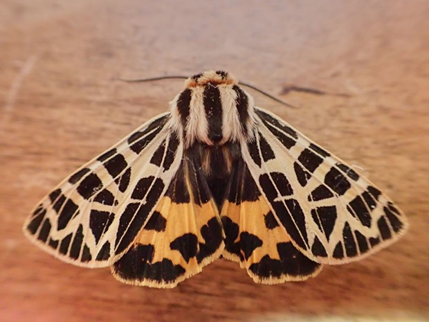 The day-flying ornate tiger moth. - ANTHONY WESTKAMPER