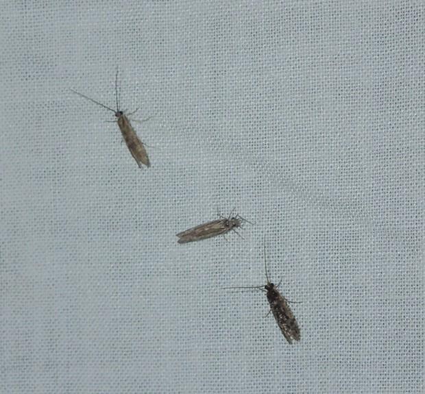 Three small caddisflies land on the light trap. - ANTHONY WESTKAMPER
