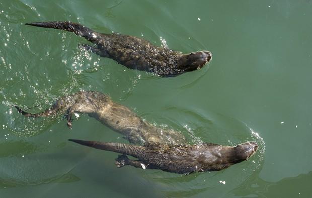 Otters mooching scraps at Trinidad Pier on Sunday. - PHOTO BY MARK LARSON