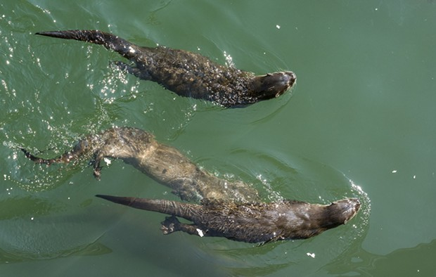 Otters mooching scraps at Trinidad Pier on Sunday. - PHOTO BY MARK LARSON