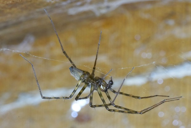 A male pimoa with a leg span of about 1.25 inches. - ANTHONY WESTKAMPER
