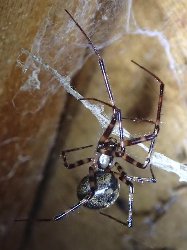 A female pimoa. Note her large abdomen for making babies. Her leg span is about 1.5 inches. - ANTHONY WESTKAMPER