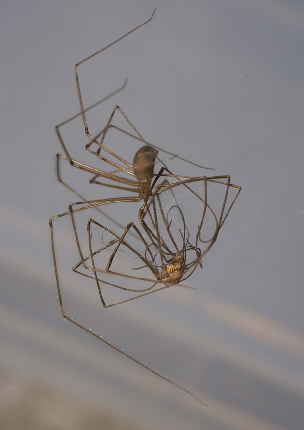 A cellar spider captures a harvestman, making for a confusing tangle of legs and names. - ANTHONY WESTKAMPER