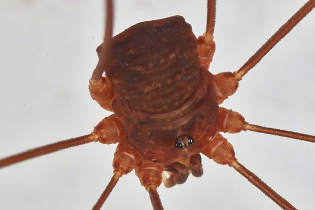 A close-up of a Harvestman shows two eyes positioned like a turret.  Spiders have either six or eight eyes. - ANTHONY WESTKAMPER