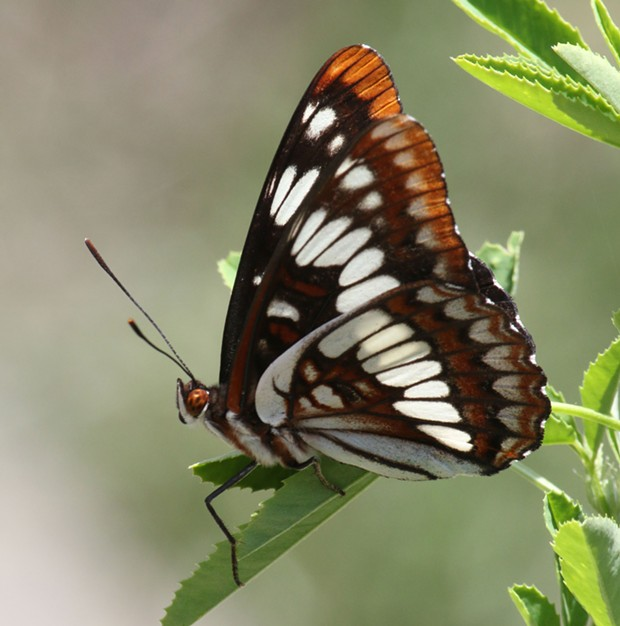 Lorquin's Admiral defends its perch against all comers. - ANTHONY WESTKAMPER