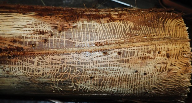 Female bark engraver beetle excavated large central gallery laying eggs along it. Young hatched out and made galleries at right angles to original tunnel, eventually boring out of the wood at the end of their gallery, just under bark on redwood branch. - PHOTO BY ANTHONY WESTKAMPER