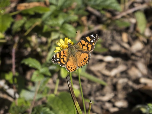 West Coast lady (Vanessa annabella) on dandelion taken this week. - PHOTO BY ANTHONY WESTKAMPER