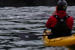Kayaking with whales. - CHET FRIEDMAN, COURTESY OF KAYAK TRINIDAD