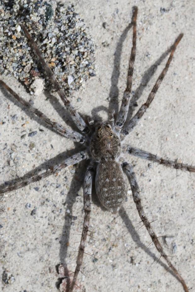 A beach wolf spider. - PHOTO BY ANTHONY WESTKAMPER