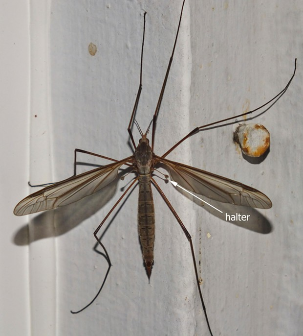 Crane fly on my front porch shows halteres. - PHOTO BY ANTHONY WESTKAMPER