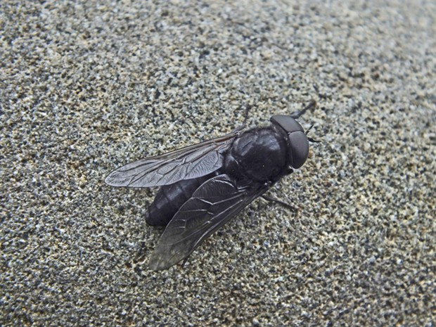 A horse fly. - PHOTO BY ANTHONY WESTKAMPER