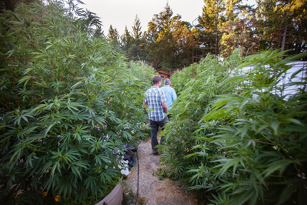 A goal of the proposed cannabis land use ordinance is creating more opportunities for canna-tourism, like farm tours and and farm stays. - PHOTO BY AMY KUMLER