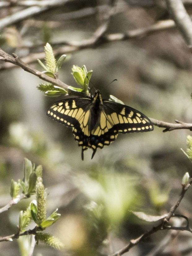 An anise swallowtail. - PHOTO BY ANTHONY WESTKAMPER