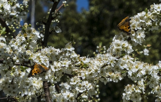 A pair of California tortoise shell butterflies among the plum blossoms. - PHOTO BY ANTHONY WESTKAMPER