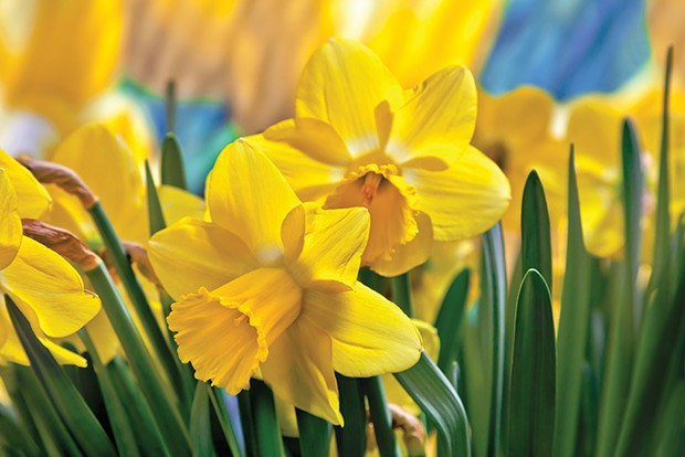 Daffy for daffodils - SHUTTERSTOCK